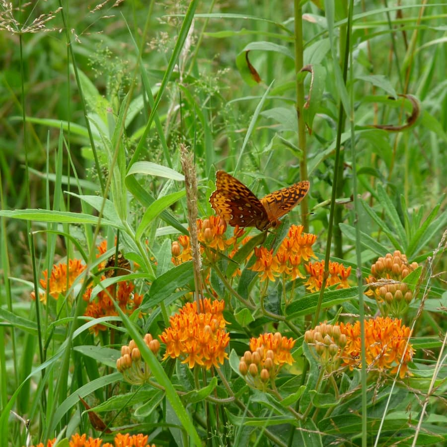 Asclepias tuberosa with butterfly