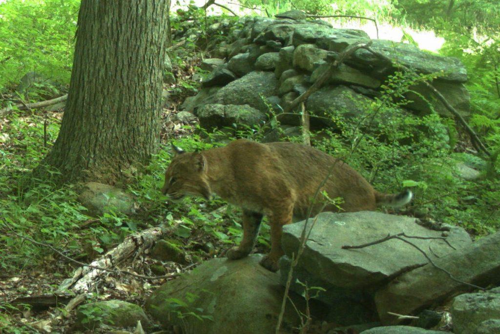 A bobcat explores the woodlands