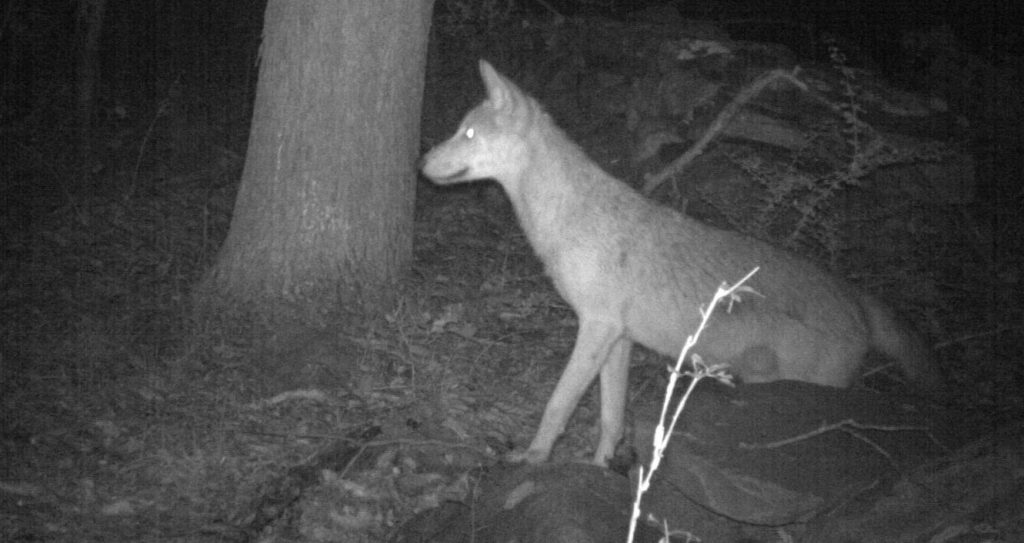A coyote at night