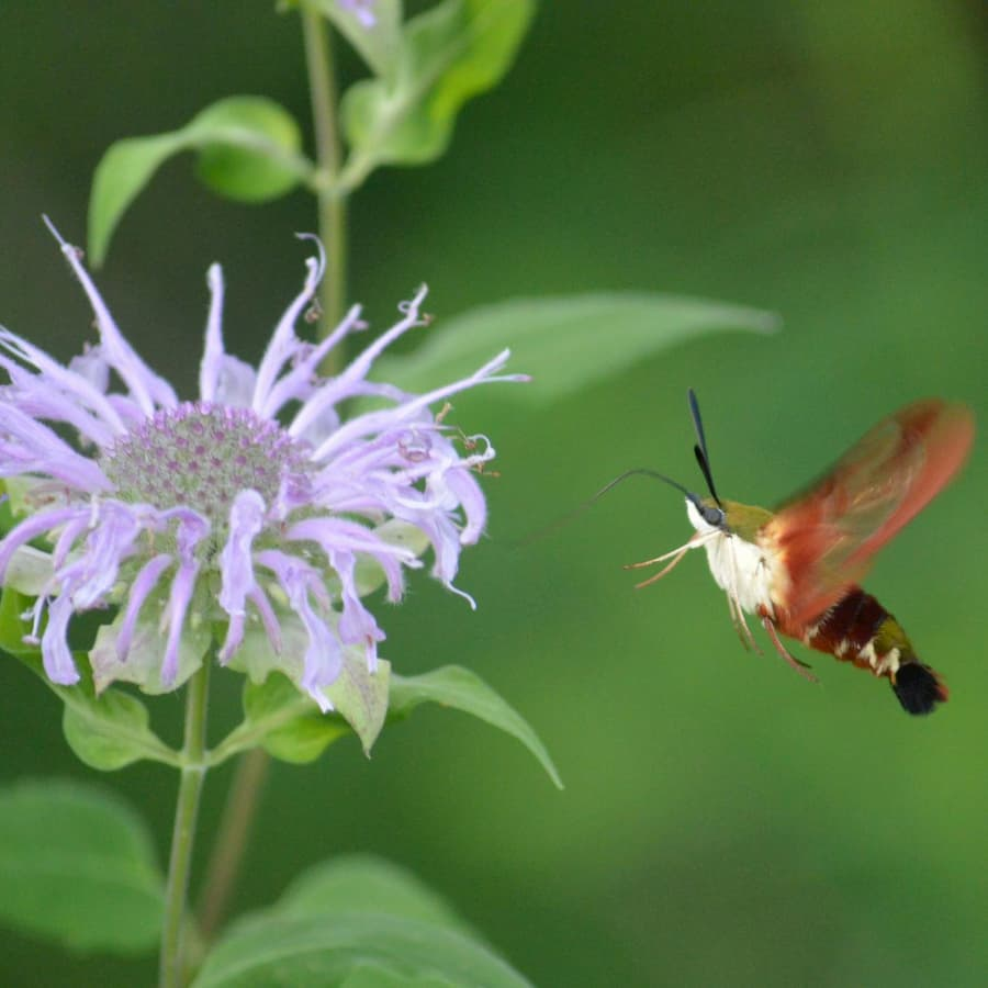 A hummingbird moth visits our meadow.