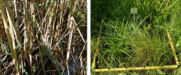 Before and after photos of phragmites removal.