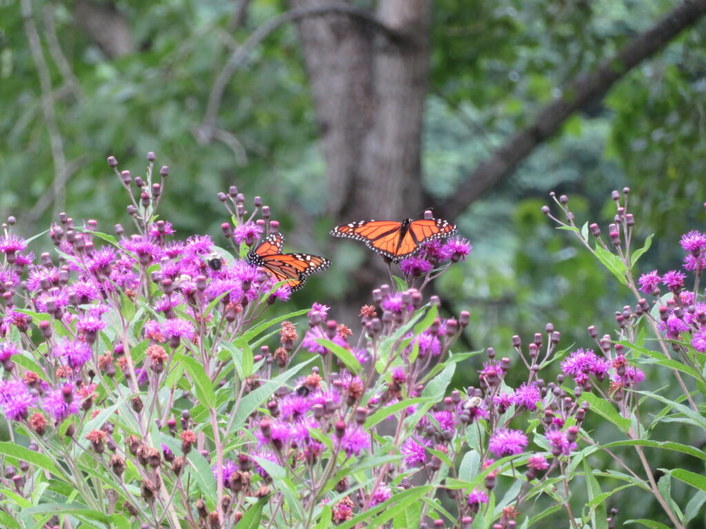 Wildflowers and butterflies. 3 Ways to Support Your Local Pollinator. Photo Credit: Louise Washer