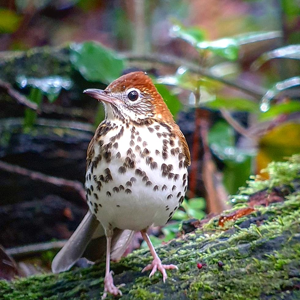 Photo Credit: Will Nunez / Macaulay Library at the Cornell Lab of Ornithology (ML198251581). New Bird-friendly Forestry Webinars to Support New England Birds.
