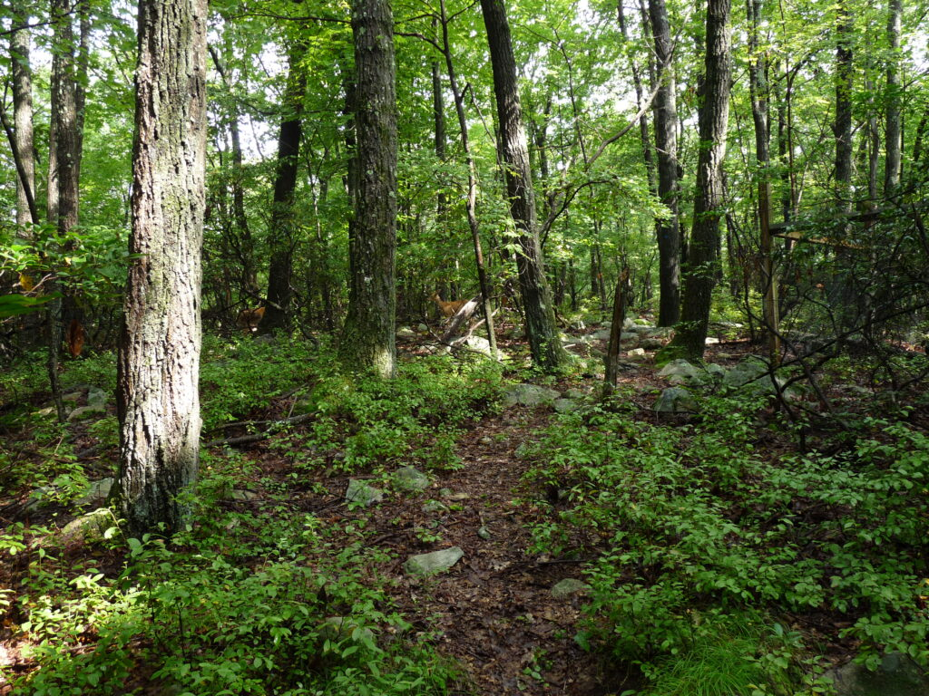 Forest and tree trunks. The understory is covered in fern and shrubs. New England Trees are Key.