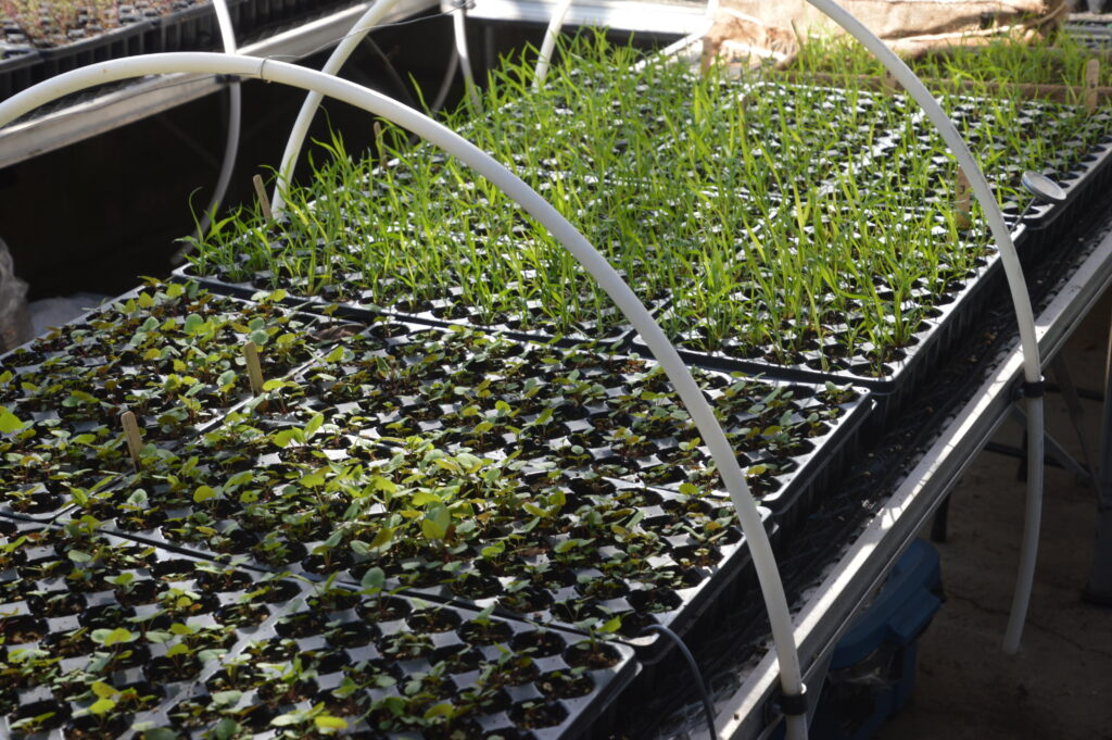 Native plant seedlings grow in trays in a green house. Ecotype Project Expands Biodiversity.