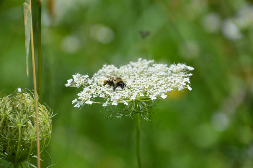 A bee rests on a yarrow flower. Ecotype Project Expands Biodiversity.