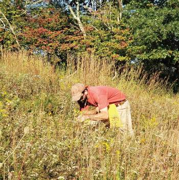 A man bends over meadow plants and harvests seeds. Ecotype Project Expands Biodiversity.